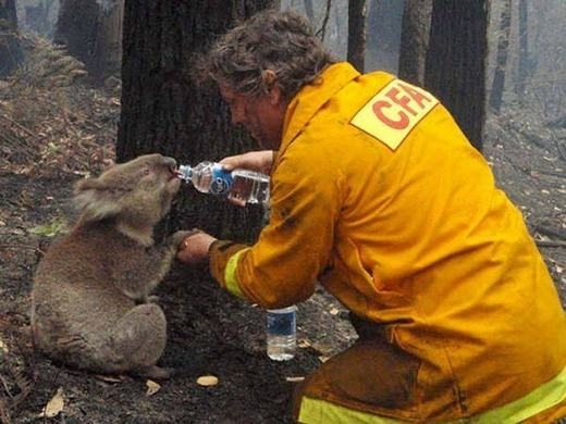 Vào năm 2009, một vụ cháy rừng đã xảy ra tại Úc khiến nước này bị thiệt hại nặng nề. Trong ảnh là người lính cứu hỏa dỗ dành và cho chú koala uống nước sau khi đám cháy được dập tắt.