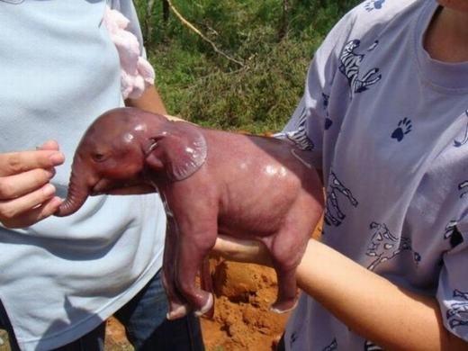 Hình ảnh chú voi con siêu đáng yêu. Dù khi lớn lên có kích thước khổng lồ nhưng khi mới chào đời, voi con cũng chỉ nhỏ như một chú chó.