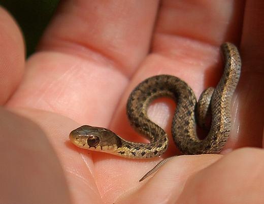 Chú rắn khi còn phôi thai và mới chào đời.