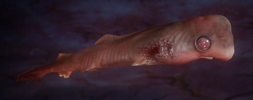 Loài cá mập chanh (lemon shark)