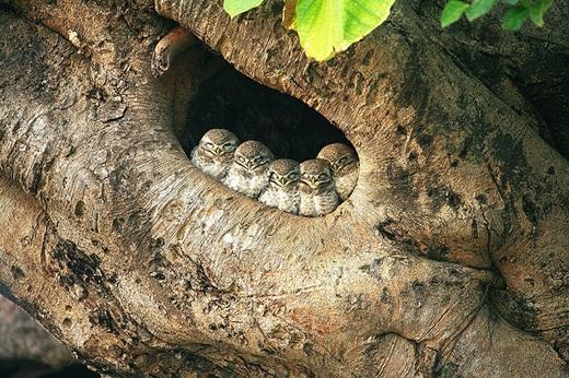 Bầy chim cú con cùng nhau trú mình trong chiếc hang ấm áp.