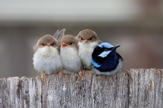 3 chú chim hồng tước tiên đứng cạnh nhau để bảo vệ cho chim bố đang mệt mỏi.