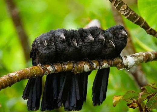 Những chú chim Crotophaga Ani đứng dựa vào nhau để lấy hơi ấm vào buổi sáng se lạnh đầy hơi sương.
