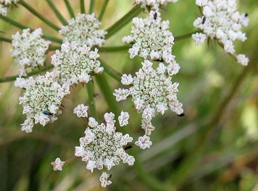 """Có một loại thảo mộc gọi là """"nụ cười tử thần"""" mang tên Hemlock water-dropwort (họ độc cần). Những ai ăn cây này đều chết và trên khuôn mặt để lại nụ cười."""