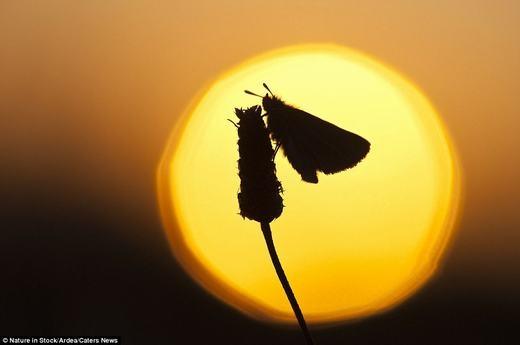Một con bướm Essex Skipper tại Schalleven, Hà Lan.