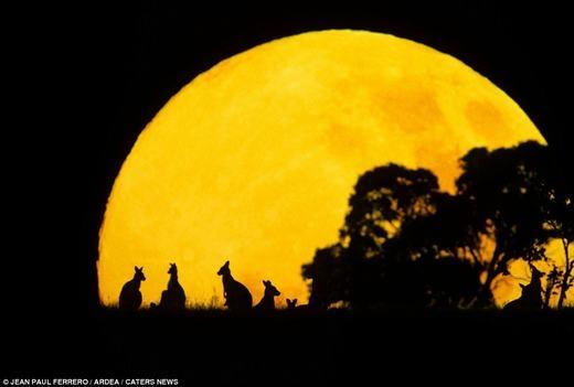 Gia đình Kangaroo bình yên khi chiều về.