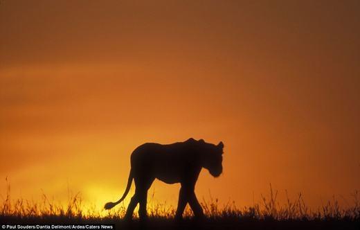 Chú sư tử lạc lõng trên đồng cỏ ở một công viên hoang dã tại châu Phi.