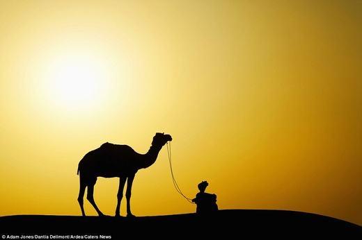 Một chú lạc đà trên sa mạc.