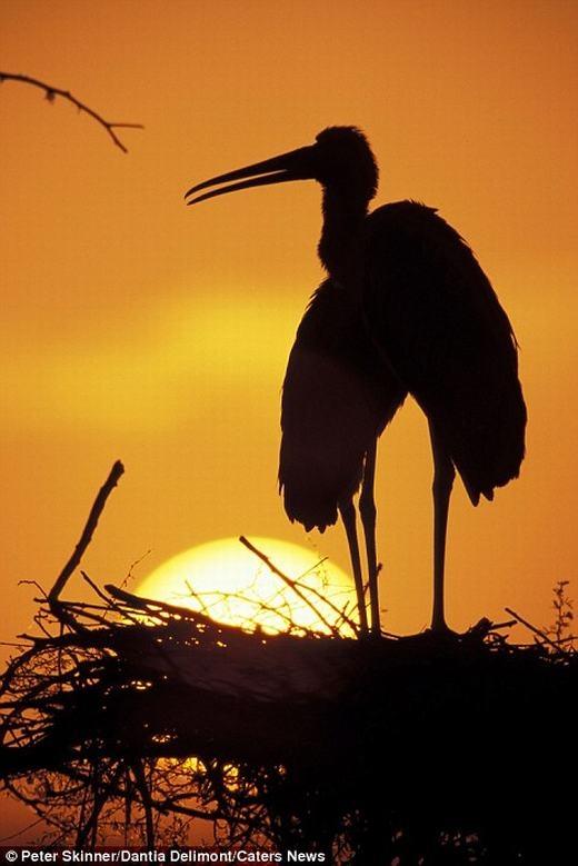 Một loài chim ở Bắc Mỹ đang 'suy tư' dưới ánh hoàng hôn.