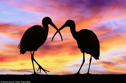 Hai chú chim đang tạo dáng rất tình cảm, hình ảnh được ghi lại ở một công viên hoang dã thuộc Florida, Mỹ.
