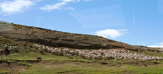 Quần đảo Falkland còn được gọi là đảo cừu. Trên hòn đảo hẻo lánh này, cứ 1 người là có tận 200 con cừu.