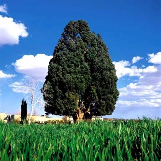 Tại Irancó một cây đại thụ 4.000 tuổi, là cây lớn tuổi thứ 2 trên thế giới.
