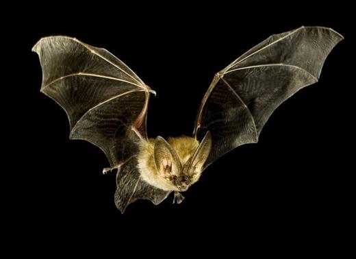 Bạn nghĩ rằng dơi bị mù? Rất nhiều sách đã nói đến điều này. Tuy nhiên, các nhà khoa học hiện đại cho biết thị lực của dơi rất tốt và nó phát huy vào ban ngày. Còn ban đêm, chúng dùng tiếng vang và sóng siêu âm để định vị con mồi.