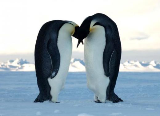 """Chim cánh cụt được xem là một trong những loài chung thủy nhất trong giới động vật. Điều này đúng nhưng chỉ trong một mùa giao phối thôi, bởi chúng sẽ tìm tới và """"chung thủy' với một bạn tình khác vào mùa sau."""