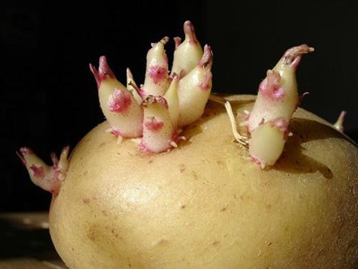 Ngộ độc khoai tây rất hiếm gặp, nhưng vẫn xảy ra.