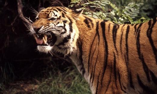 Bị hổ cắn đứt tay vì cố chụp ảnh (Guwahati, Ấn Độ): Năm 2007, Jai Prakash Bezbaruah, 50 tuổi, cùng gia đình tới thăm vườn thú Guwahati tại thành phố Guwahati, Ấn Độ. Ông đã lén vào chuồng phía trong để chụp vài kiểu ảnh. Một con sư tử cái đã vồ được tay ông. Nhiều nhân viên sở thú đã cố gắng ngăn cản và giải cứu ông, nhưng trước khi họ tới kịp, một con hổ đực xuất hiện và cùng con hổ cái xé đứt cánh tay của Bezbaruah. Ông lập tức được đưa đi cấp cứu nhưng đã qua đời trên đường tới bệnh viện. Ảnh: Throughgoldeneyes.