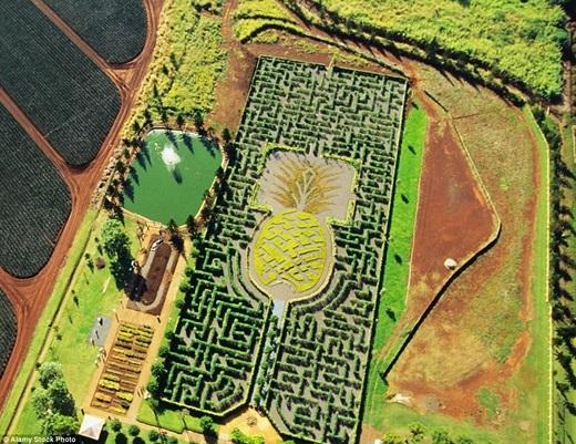 """Với tổng chiều dài đường đi lên đến 4km, mê cung hình quả dứa có tên Dole Pineapple Plantatioinđã làm""""tiêu tốn"""" 14.000 loài cây đặc biệt chỉ có ở Hawaii.(Ảnh:Internet)"""