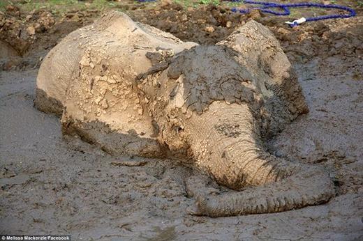 Với 4 ngày không ăn uống, không cử động, chú voi chỉ biết giơ vòi lên thở trong tuyệt vọng.