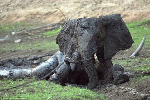 """""""Ban đầu, các nhân viên chúng tôi rất sợ tiếp cận nó, bởi những động vật hoang dã trong công viên cực kì hung dữ. Khi có tiếng động ồn ào, loài voi rất dễ nổi giận. Rất may mọi thứ đều diễn ra như ý muốn"""", Len Taylor, người tham gia cứu hộ chú voi khỏi đống bùn cho biết."""