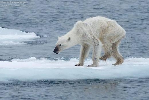 Chú gấu trắng Bắc cực 'ốm đói' làm thế giới bàng hoàng. (Ảnh:Kerstin Langenberger)