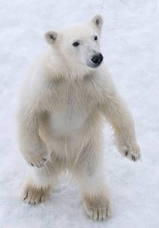 Một chú gấu khá ốm yếu khác. (Ảnh:Kerstin Langenberger)