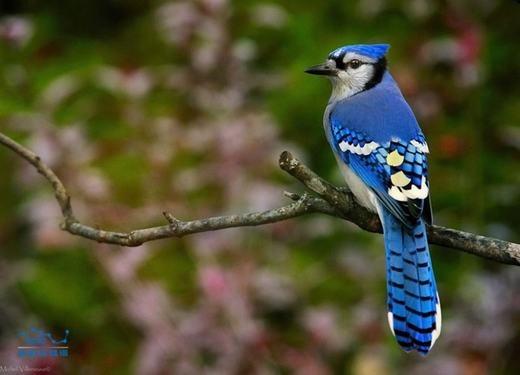 Được biết tới với tên gọi Giẻ cùi lam, Blue Jay là loài chim có phần cánh, mào và đuôi màu làm cùng bụng trắng tinh, còn ức có màu nâu nhạt. (Ảnh: Sina)