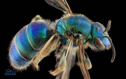 Loài ong có màu xanh cực hiếm này được gọi với cái tên rất dân dã là ong mồ hôi (tên khoa học Augochloropsis sumptuosa). Hiện trên thế giới chỉ có vài loài ong mang màu xanh đặc biệt này. (Ảnh: Sina)