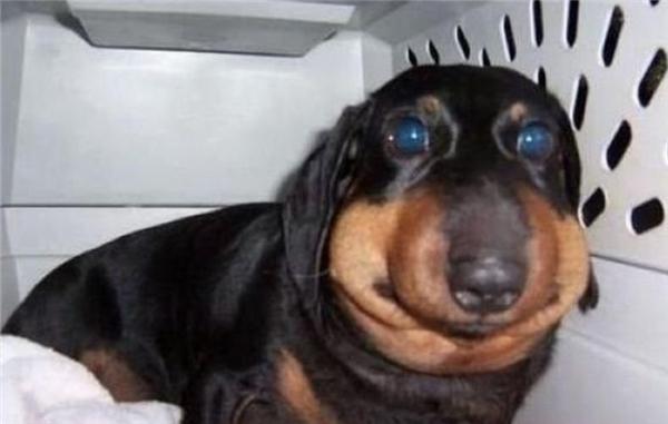 Sợ hãi và đau đớn là cảm giác mà chú chó này phải chịu đựng khi chọc vào loài ong hung dữ.