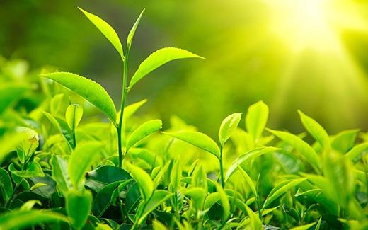 Uống trà xanh.Trà xanh chứa các chất chống ô xy hóa, nhiều hoạt chất khác, có tác dụng đốt cháy mỡ thừa và giúp giảm cân. Trà xanh còn thúc đẩy quá trình trao đổi chất, đốt cháy calo trong cơ thể và cải thiện tiêu hóa. Do vậy, bạn nên uống ít nhất 2-3 tách trà xanh một ngày.