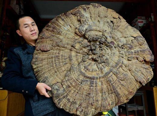 Một cây nấm linh chi khổng lồ. (Ảnh: (Internet)