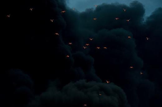 Đây là hình ảnh cháy rừng với khói đangbốc lên.Những cánh chim bị lửa chiếu sáng nổi bật trên nền khói đen. (Ảnh: Internet)