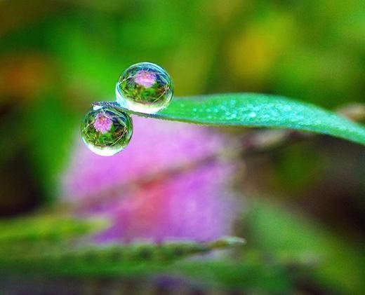 Giọt sương trên chiếc lá không khác nào một viên ngọc. (Ảnh: Internet)