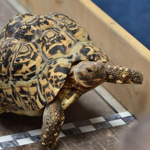 Bertie đã lập kỉ lục 19,59 giây trên đường đua 5,48 mét (tương đương tốc độ 0,28 m/s) để giành ngôi vị quán quân và chính thức thiết lập kỉ lục Guinness. Trước đó, vào năm 1997,chú rùa giữ kỉ lục này là Charlyvới tốc độ 0,125 m/s. (Ảnh: Internet)