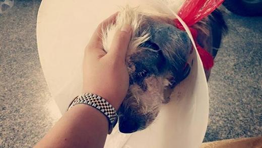 Một người chủ mới đã nhận nuôi, đồng thời giúp chú chó điều trị vết thương.Thời gian đầu, chú không thể cúi đầu vì chấn thương ở cổ nênthường được người chăm lonângđĩa thức ăn lên.Ngày qua ngày, vết thương dần hồi phục, phần da trụi lông của chú chóbắt đầu mọc lên những đốm lông mới.(Ảnh: Internet)