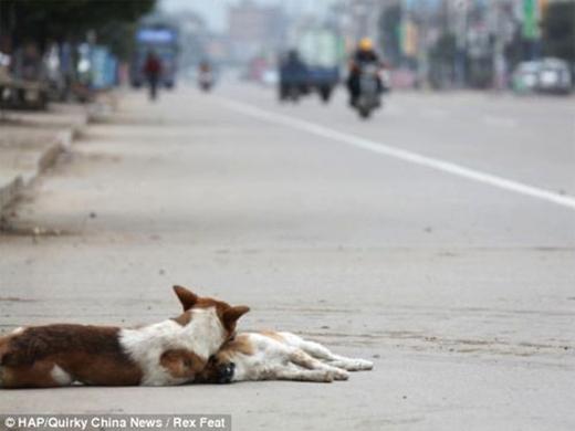 Thấy không có kết quả, chú chó lôi người bạn vào lề và nằm bên cạnh suốt 6 giờcho đến khi có người tớigiúp.(Ảnh: Internet)