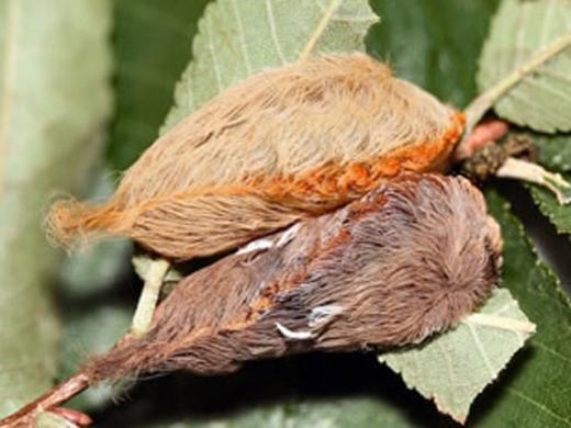 Cận cảnh loài sâu bướm đẹp nhưng cực độc không ai dám sờ