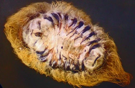 Phía dưới bụng của loài sâu cực độc này. (Ảnh: Internet)