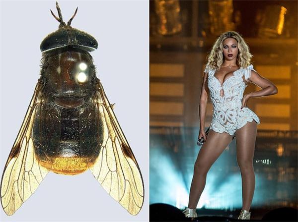 Scaptia beyonceae - một loài ruồi trâu được tìm thấy ở bang Queensland, Australia, được đặt theo tên của nữ ca sĩ Beyoncé.