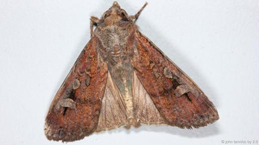 Nếu so tỉ lệ cơ thể, bướm đêm bogong có tỉ lệ chất béo rất cao, lên tới 39%. Đây là loài mà gấu xám Bắc Mỹ rất thích ăn nhằm tích mỡ cho chúng đểchống chọi với cơn rét của mùa đông. (Ảnh: Internet)