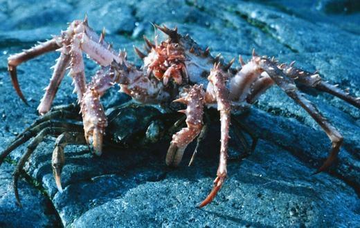 Cua Lithodes maja được mệnh danh là Vua của các loài cua. Đây là loài động vật có thể khiến bạn gặp ác mộng ngay từ cái nhìn đầu tiên.(Ảnh: Internet)