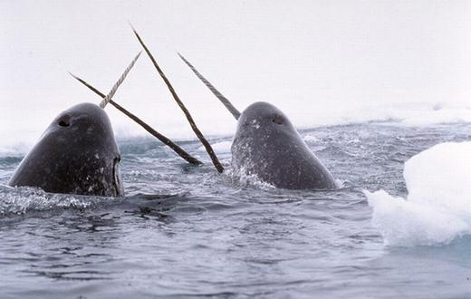 Cá kì lân khiến những ai đối diện đều phải đề phòng bởi chiếc sừng nhọn hoắt dài gần 1 mét.(Ảnh: Internet)