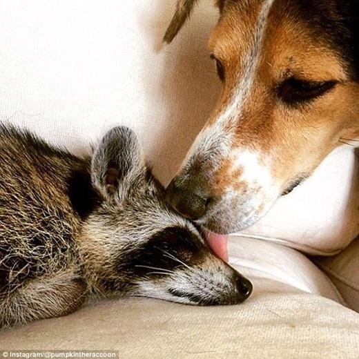 """Cả hai chú chó cũng rất yêu quý Pumpkin, thường liếm láp khi """"cô nàng"""" bị bệnh.(Nguồn: Daily Mail)"""