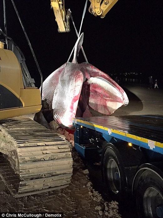 """""""Cụ"""" cá voi được xác định là nặng hơn 20 tấn, dài hơn 13m. Các nhân viên đã mất rất nhiều thời gian mới có thể mang con cá lên xe. (Ảnh: Internet)"""