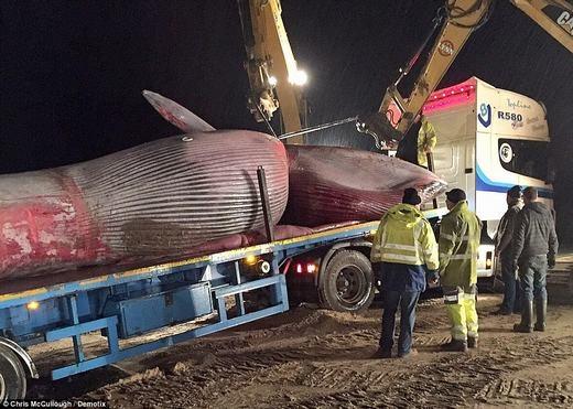 """Cá voi khổng lồ vừa trôi dạt vào bờ biển khiến người dân """"choáng váng"""""""