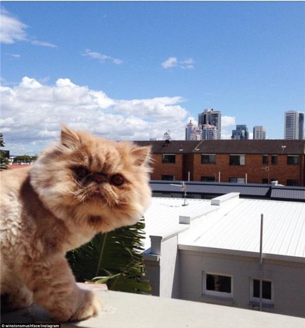 Giờ đây chú mèo Sir Winston đã rất nổi tiếng với cư dân mạng ở Gold Coast.(Nguồn: Daily Mail)