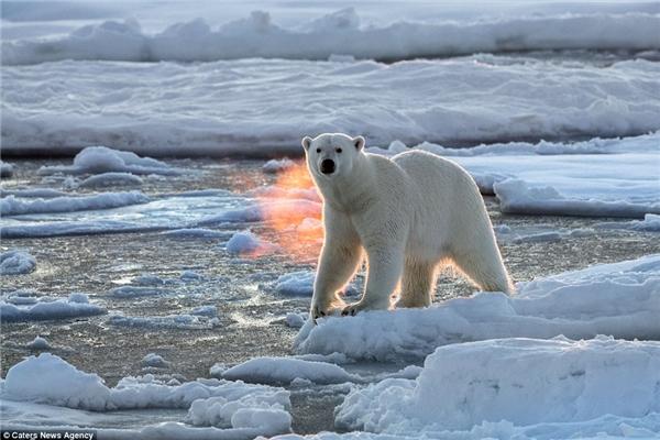 """Chú gấu này đang sử dụng những tảng băng để """"thám thính"""" thuyền của những du khách đến từ Na Uy. (Ảnh: dailymail)"""