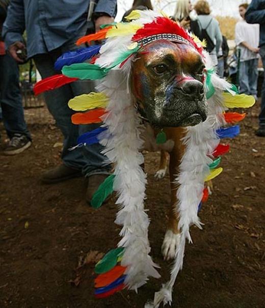 Tộc trưởng của bộ tộc chó Pitbull.(Nguồn: Internet)