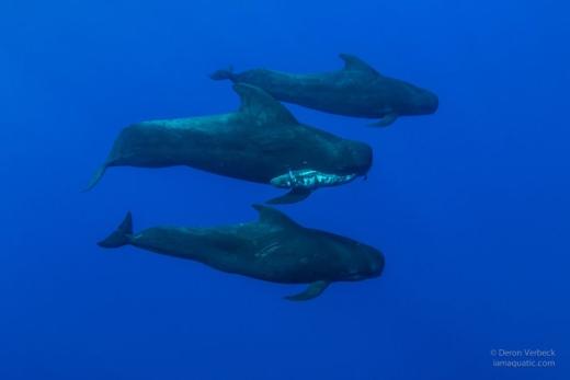 """Đàn cá voi """"đưa tang"""" đồng loại. (Ảnh: Deron Verbeck)"""