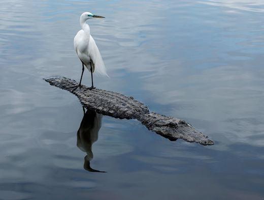 """Bức ảnh chú cò dũng cảm """"đi nhờ"""" trên lưng cá sấuđược chụp bởi nhiếp ảnh gia thiên nhiên Andrew Sentipal,khi ông đến thăm vườn quốc gia Everglades ở Florida. (Ảnh:Andrew Sentipal)"""