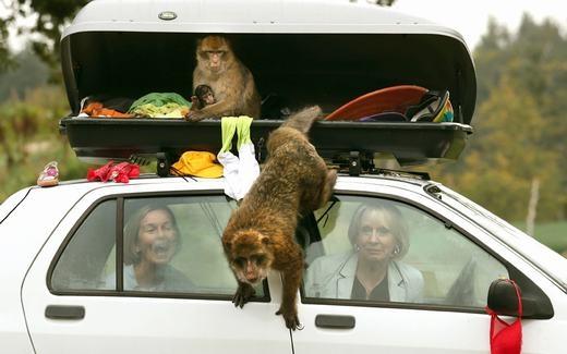 Những chú khỉ nghịch ngợm đang quậy phá đồ đạc của khách tham quan tại một vườn thú ở Scotland. (Ảnh: Andrew Milligan / PA)